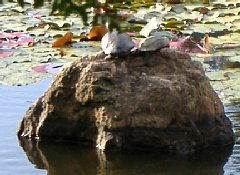 龍安寺 鏡容池の亀