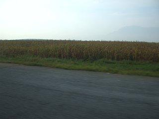 黄海北道瑞興郡付近のとうもろこし畑