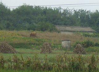 DMZ内の農地で放牧されていた牛