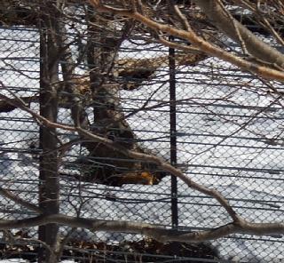 木の根元にキタキツネが