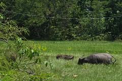 草を食む水牛