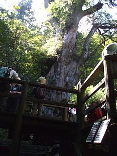 デッキの階段を昇ると見えてくる縄文杉