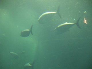 マグロ水槽
