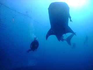 ジンベエザメと並んで泳ぐ