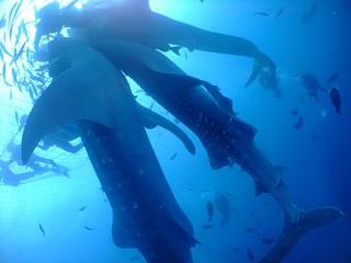 餌付けに立ち泳ぎのようにして群がるジンベエトリオ